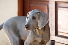 Hond weimaraner Stock Foto