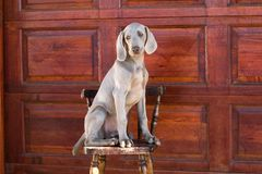Hond weimaraner Royalty-vrije Stock Foto's