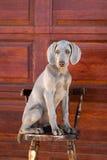 Hond weimaraner Royalty-vrije Stock Afbeelding