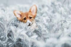 Hond Welse Corgi Pembroke Stock Foto's