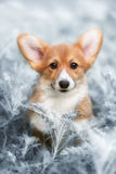 Hond Welse Corgi Pembroke Royalty-vrije Stock Foto's
