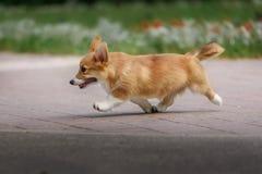 Hond Welse Corgi Pembroke Stock Afbeelding