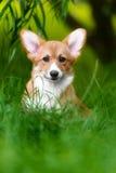 Hond Welse Corgi Pembroke Royalty-vrije Stock Afbeelding