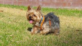 Hond Yorkie ter plaatse Stock Foto's
