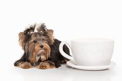 Hond Yorkiepuppy op witte gradiëntachtergrond Royalty-vrije Stock Foto