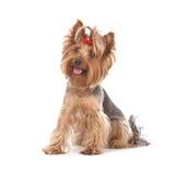 hond, Yorkshire terriërportret Stock Afbeelding