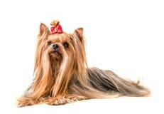 Hond Yorkshire Terrier op een witte achtergrond wordt geïsoleerd die Royalty-vrije Stock Foto