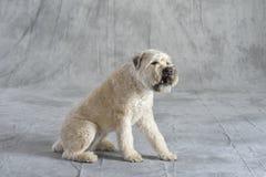 Hond Terrier Stock Foto's