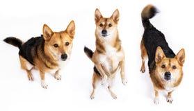 Hond, zitting en omhoog het kijken die opstaan Royalty-vrije Stock Foto's