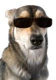 Hond in zonnebril Royalty-vrije Stock Afbeelding