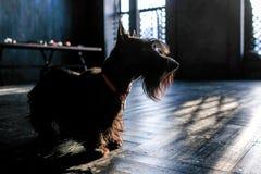 Hond zwart Terrier, op de zwarte vloer in de zon, het stemmen stock afbeelding