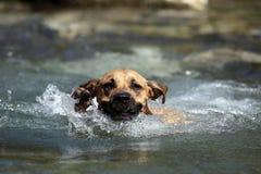 Hond Zwemmende Overlappingen Royalty-vrije Stock Foto's