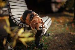 Hondbrak die in de herfstpark lopen stock fotografie