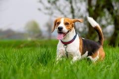 Hondbrak die en met tong uit groen grasgebied doornemen springen in de lente stock foto
