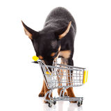 Hondchihuahua met het winkelen karretje op witte achtergrond wordt geïsoleerd die Stock Foto