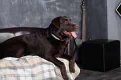 Hondchocolade Labrador royalty-vrije stock afbeeldingen