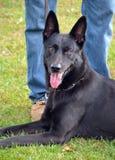 Honden 020 Stock Foto's