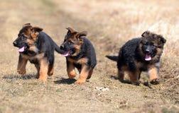 Honden 00013 Stock Afbeeldingen