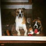 Honden! Stock Foto