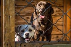 Honden achter omheining Stock Afbeeldingen