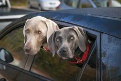 Honden in auto stock afbeelding