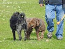 Honden bij de pret van de speloefening in het lokale park Royalty-vrije Stock Fotografie