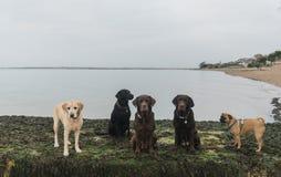 Honden bij het strand Royalty-vrije Stock Foto's