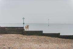 Honden bij het strand Royalty-vrije Stock Fotografie