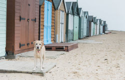 Honden bij het strand Royalty-vrije Stock Afbeelding