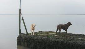 Honden bij het strand Stock Foto's
