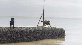 Honden bij het strand Royalty-vrije Stock Afbeeldingen