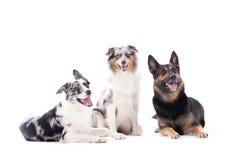 2 honden blauwe merle en sheppard Stock Fotografie