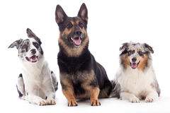2 honden blauwe merle en sheppard Stock Foto's