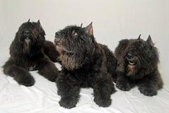 Honden - Bouvier des Vlaanderen royalty-vrije stock afbeelding