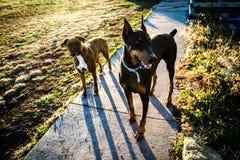 2 honden in de binnenplaats Stock Afbeeldingen