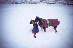 Honden in de koude van de de winterpret van sneeuwjanuari februari Royalty-vrije Stock Afbeelding