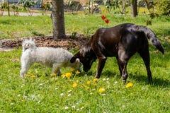 Honden in de tuin Stock Afbeelding