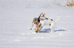 Honden die basenjihond aanvallen terwijl spel op een verse sneeuw Stock Foto