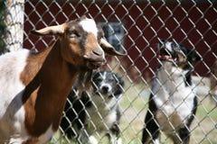 Honden die bij Geit ontschorsen Stock Afbeelding