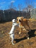 Honden die in binnenplaats spelen Royalty-vrije Stock Afbeelding