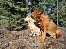 Honden die in bos zitten Royalty-vrije Stock Foto's