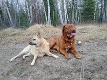 Honden die buiten leggen Royalty-vrije Stock Foto's