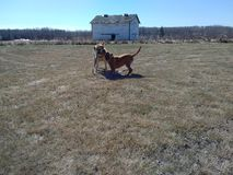 Honden die buiten spelen Stock Afbeeldingen