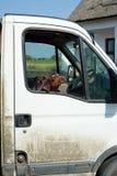 Honden die door autoraam kijken Royalty-vrije Stock Afbeelding