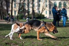 Honden die en in een park spelen lopen Stock Foto's