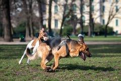 Honden die en in een park spelen lopen Royalty-vrije Stock Foto's