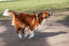 Honden die en in een park spelen lopen Stock Foto