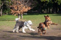 Honden die en in een park spelen lopen Royalty-vrije Stock Foto
