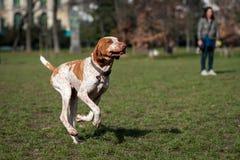 Honden die en in een park spelen lopen Royalty-vrije Stock Afbeeldingen