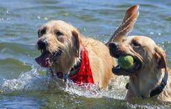 Honden die in het Meer spelen Stock Foto